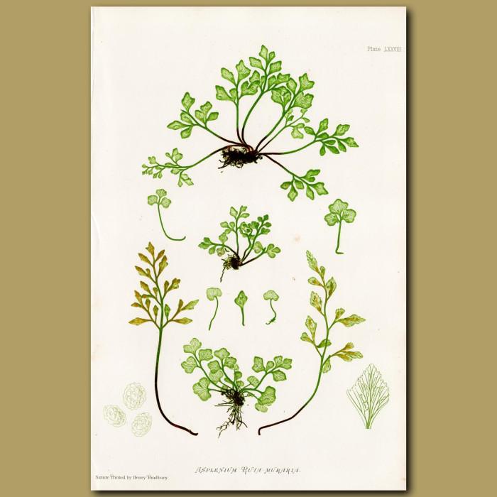 Wall Rue Fern: Genuine antique print for sale.
