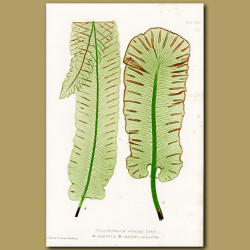 Hart's-tongue Fern: Rough and Blunt