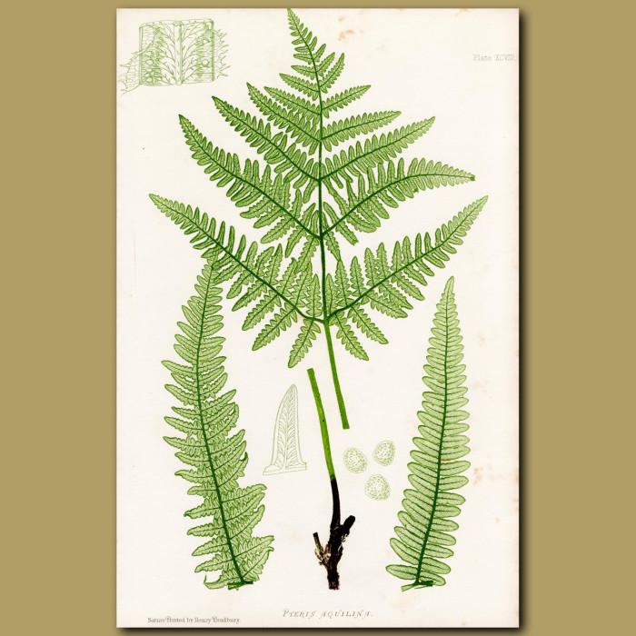 Eagle Fern: Genuine antique print for sale.