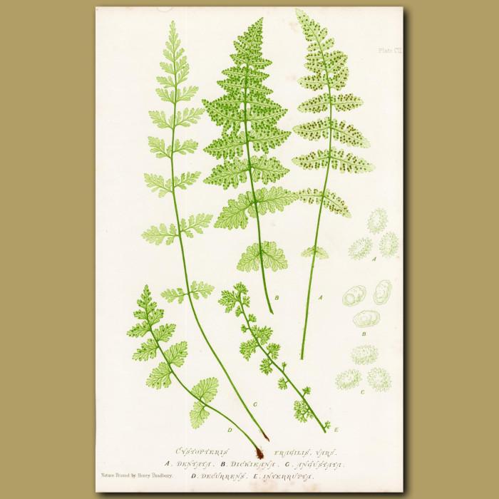 Brittle Bladder Fern: Genuine antique print for sale.