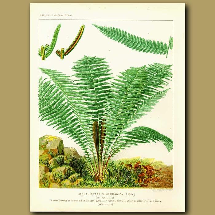Antique print. Struthiopteris germanica