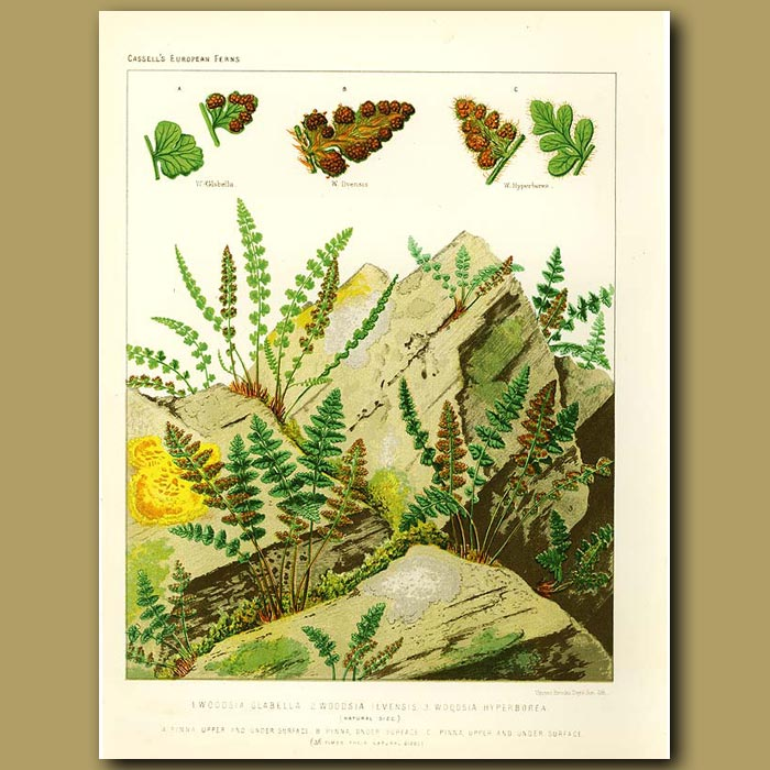 Antique print. Woodsia Ferns (Woodsia glabella, ilvensis and hyperborea)