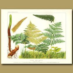 Common Brake Fern (Pteris aquilina)