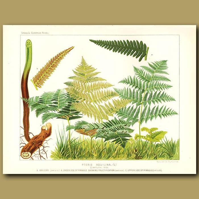Antique print. Common Brake Fern (Pteris aquilina)