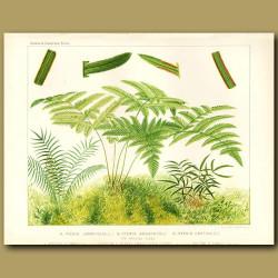 Brake Ferns (Pteris longifolia, arguta and cretica)