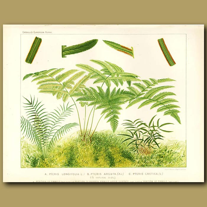 Antique print. Brake Ferns (Pteris longifolia, arguta and cretica)