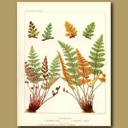 Rock Ferns (Cheilanthes fragans and szovitzii)