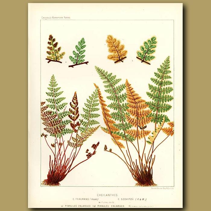Antique print. Rock Ferns (Cheilanthes fragans and szovitzii)