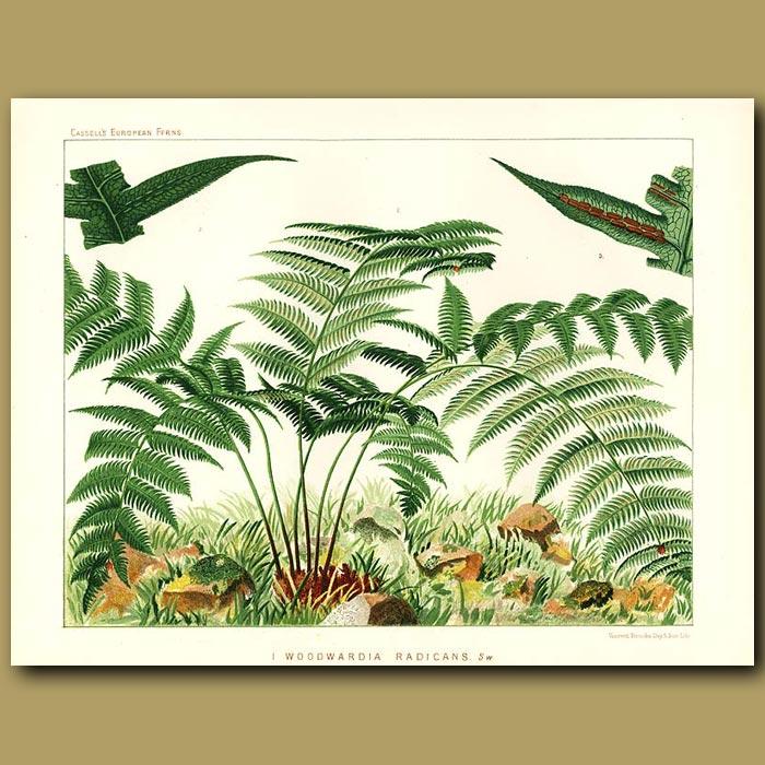 Antique print. Chain Fern (Woodwardia radicans)