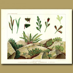 Spleenwort Ferns (Asplenium septentrionale and Petrarchae)