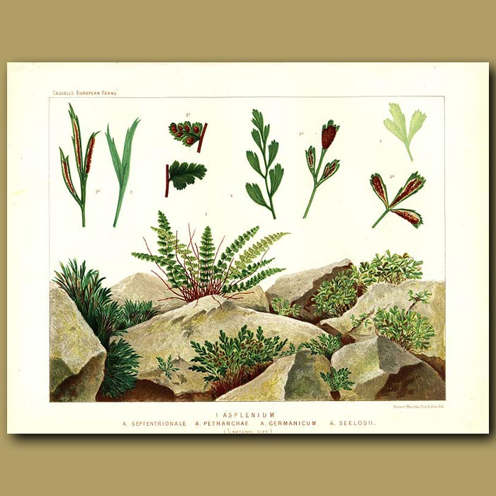 Antique print. Spleenwort Ferns (Asplenium septentrionale and Petrarchae)