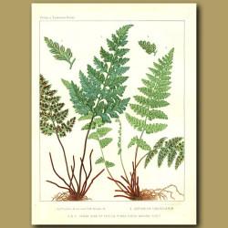 Black Spleenwort (Asplenium adiantum nigrum)