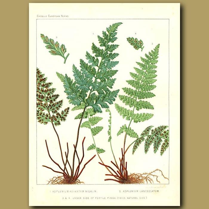 Antique print. Black Spleenwort (Asplenium adiantum nigrum)