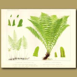 Marsh Fern (Aspidium thelypteris)