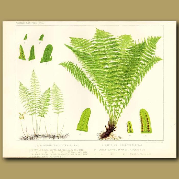 Antique print. Marsh Fern (Aspidium thelypteris)