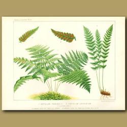 Shield Fern (Aspidium foenisecii)