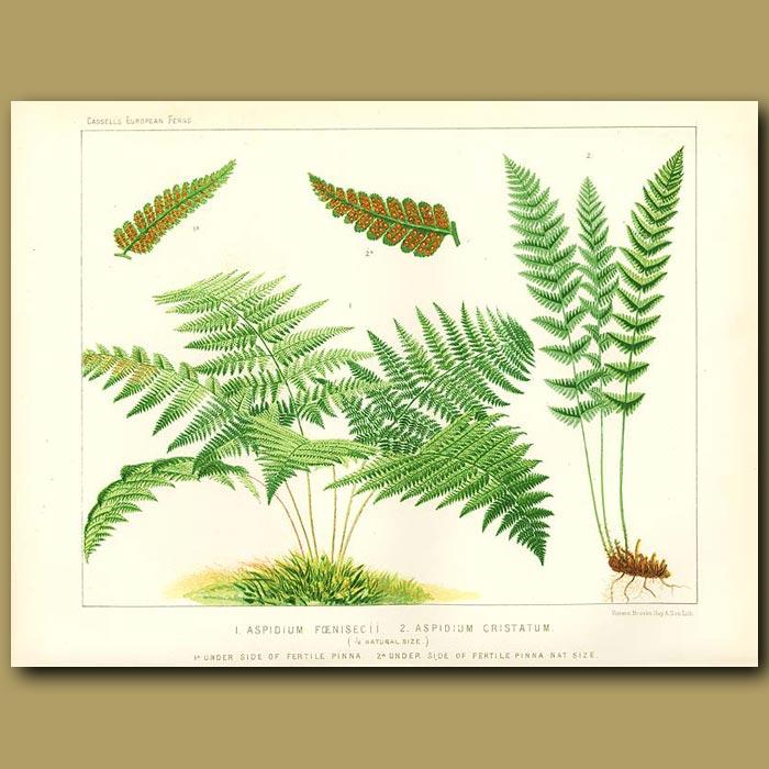 Antique print. Shield Fern (Aspidium foenisecii)