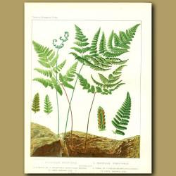 Oak Fern (Polypodium dryopteris)