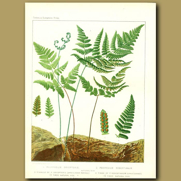 Antique print. Oak Fern (Polypodium dryopteris)