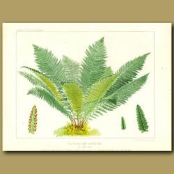 Alpine Lady Fern (Polypodium alpestre)