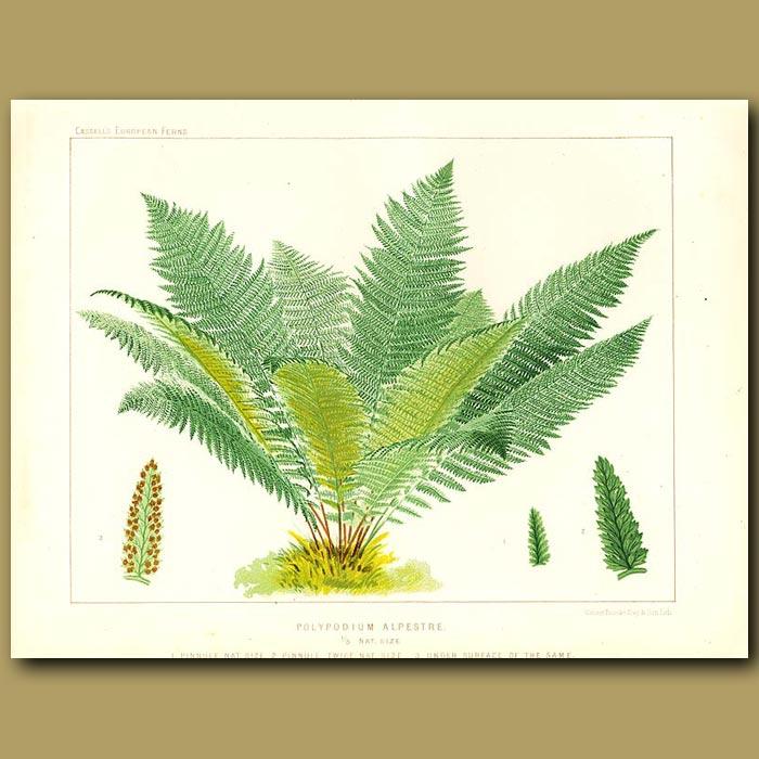 Antique print. Alpine Lady Fern (Polypodium alpestre)