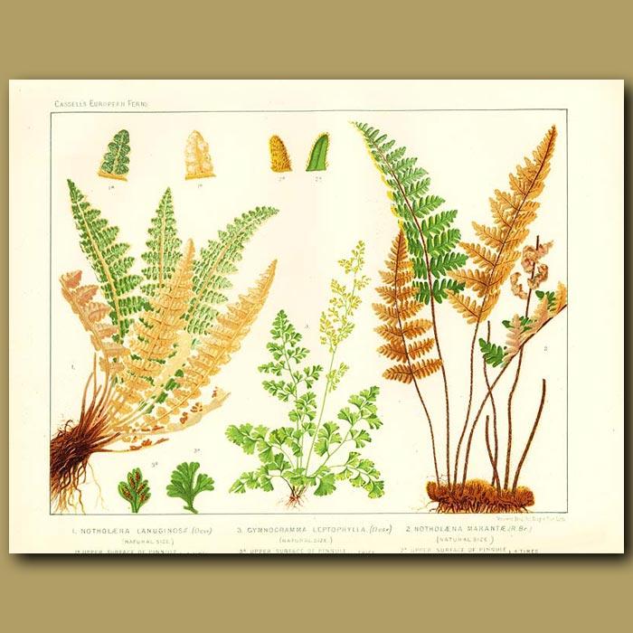 Antique print. Cloak Ferns )Notholaena lanuginosa and marantae)
