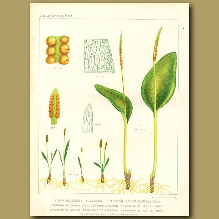 Antique print. Southern Adder's Tongue (Ophioglossum vulgatum)