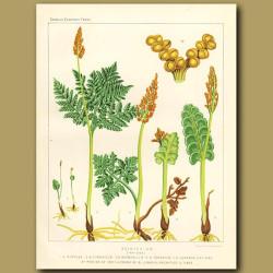 Moonwort (Botrychium)