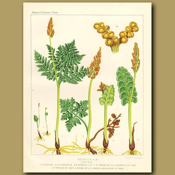 Antique print. Moonwort (Botrychium)
