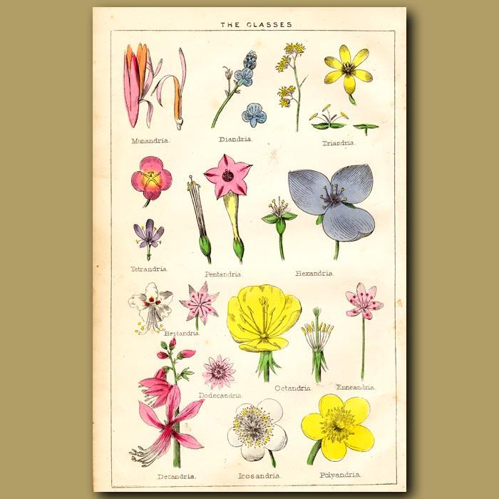 Antique print. The Classes of Linnaeus