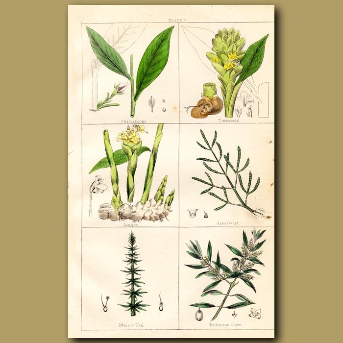 Antique print. Cardamom, Turmeric, Ginger