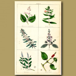 Rosemary, Sage, Speedwell and Black Pepper