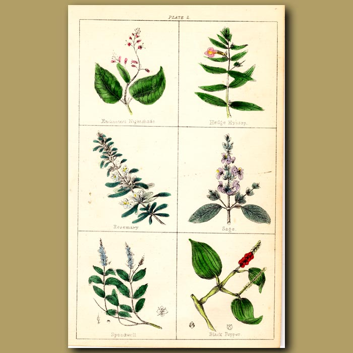Antique print. Rosemary, Sage, Speedwell and Black Pepper