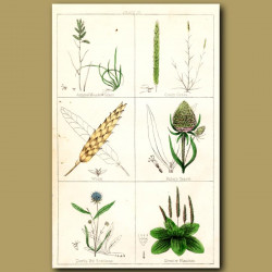 Annual Meadow Grass, Couch Grass, Wheat