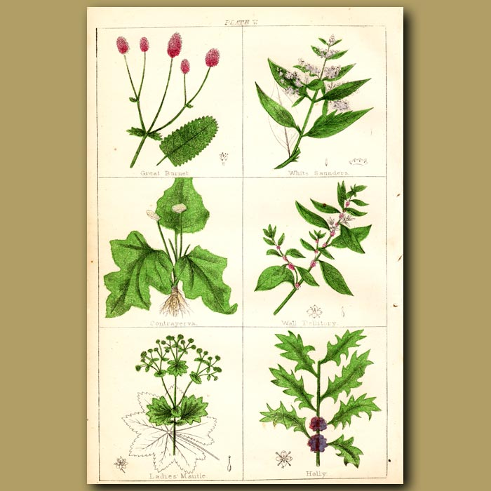 Antique print. Holly, White Saunders, Contrayerva