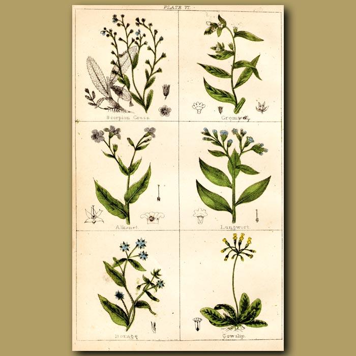 Antique print. Scorpion Grass, Gromwell, Alkanet