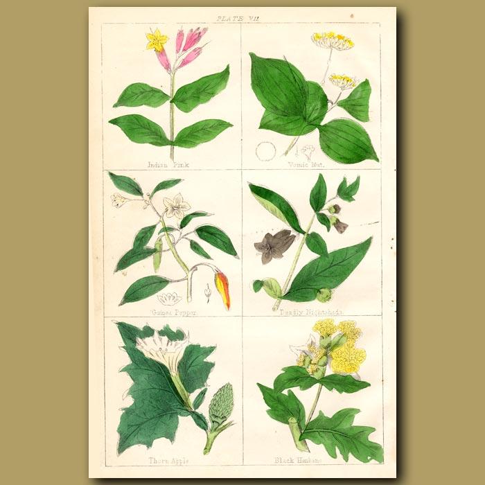 Antique print. Indian Pink, Vomic Nut, Guinea Pepper