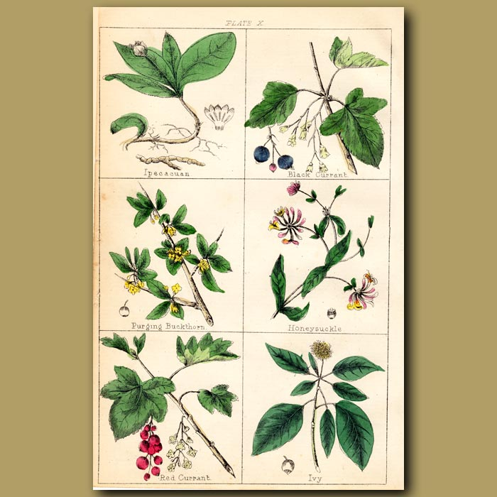 Antique print. Honeysuckle, Red Currant and Ivy