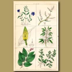 Periwinkle, Prickly Saltwort, Mullein