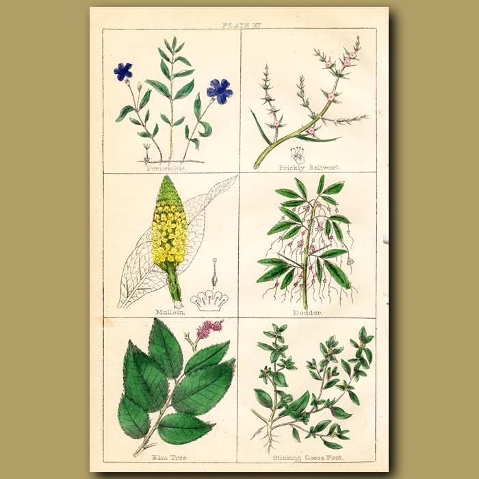 Antique print. Periwinkle, Prickly Saltwort, Mullein
