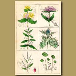 Yellow Gentian, Purple Gentian, Swallow-wort