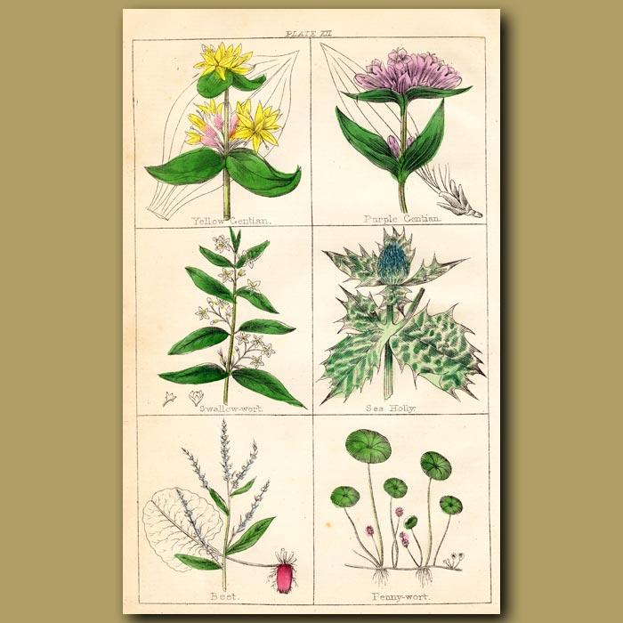Antique print. Yellow Gentian, Purple Gentian, Swallow-wort