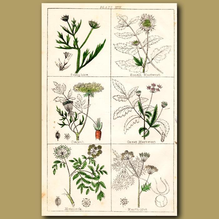Antique print. Samphire, Small Hartwort, Carrot