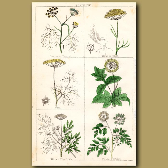 Antique print. Common Fennel, Hog's Fennel, Dill