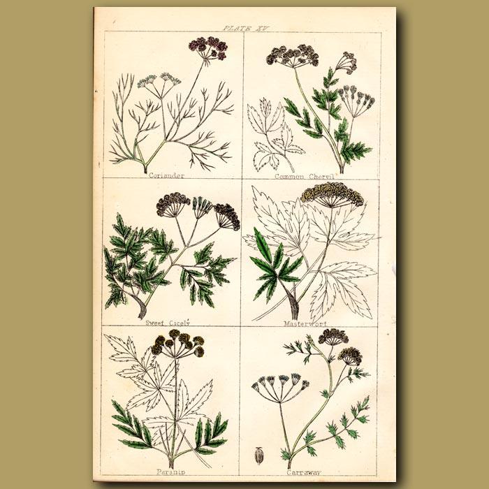 Antique print. Coriander, Common Chervil, Sweet Cicely