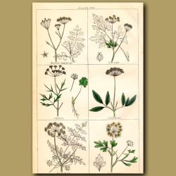 Burnet Saxifrage, Parsley, Anise