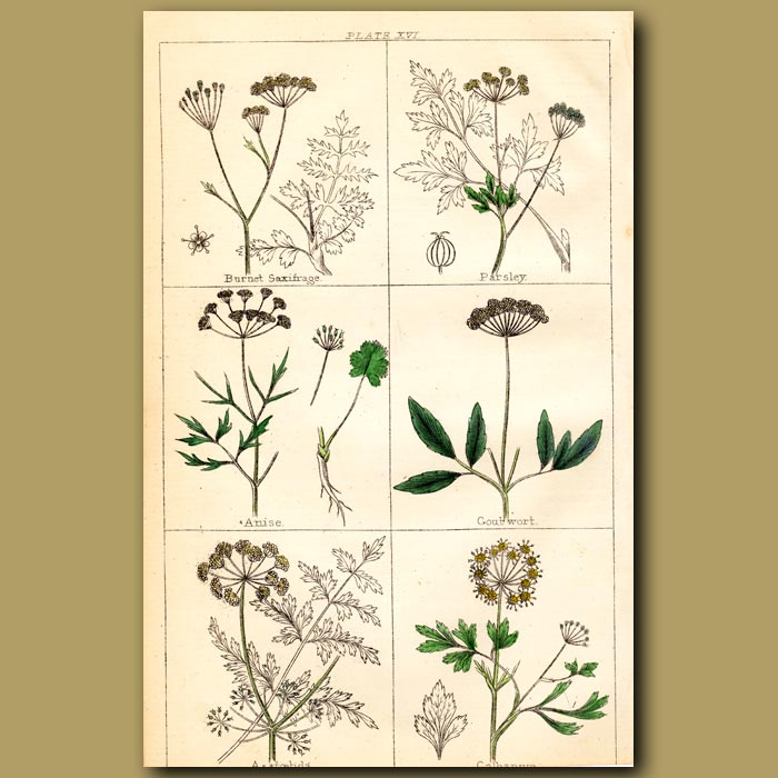 Antique print. Burnet Saxifrage, Parsley, Anise