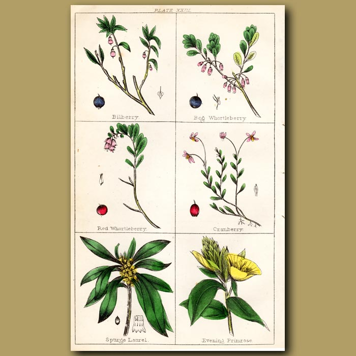 Antique print. Bilberry, Bog Whortleberry, Red Whortleberry