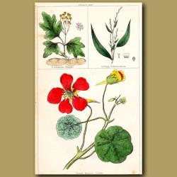 Great Indian Cress or Nasturtium