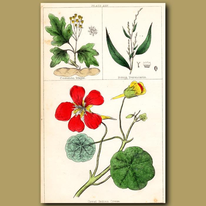 Antique print. Great Indian Cress or Nasturtium